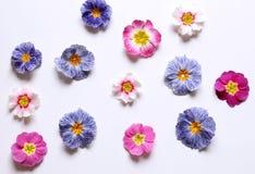 Zusammensetzung der Primel, gemeine Blumen der Primel auf einem weißen Hintergrund, Draufsicht, kreativer flacher Plan Das Konzep lizenzfreies stockbild