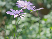 Zusammensetzung des wilden violetten Gänseblümchens lizenzfreie stockbilder