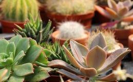 Zusammensetzung mit Succulents und catcus Stockfoto