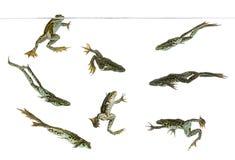 Zusammensetzung von den essbaren Fröschen, die unter Wasserlinie schwimmen lizenzfreie stockfotografie