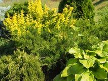 Zusammensetzung von Koniferen- und laubwechselnden Pflanzen Das Design des Gartens Plan des Plans lizenzfreie stockbilder