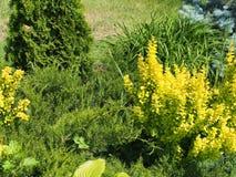 Zusammensetzung von Koniferen- und laubwechselnden Pflanzen Das Design des Gartens Plan des Plans stockfotos