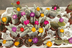 Zusammenstellung von Kaktus 2 Stockbild