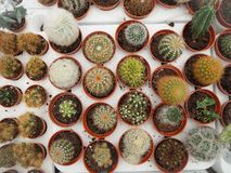 Zusammenstellung von kleinen Kaktuspflanzen in den Plastiktöpfen stockfotografie