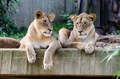 Zuster Lionesses Washington Zoo royalty-vrije stock afbeelding