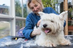 Zutaten der West Highland White Terrier-Hundenahaufnahme stockfotografie