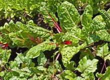 Zuteilung, Reihen des Gemüses. stockfotos