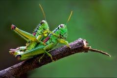 Zutreffende Liebe der Heuschrecken Stockfotografie