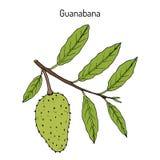 Zuurzak muricata Annona, of guanabana, geneeskrachtige installatie stock illustratie