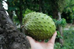 Zuurzak vers en sappig Aziatisch exotisch fruit stock foto