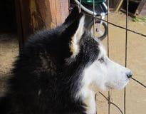 Zuverlässiger Hundeschlittenhund Stockfotografie