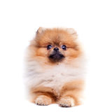 Zverg Spitz, Pomeranian Royalty Free Stock Photography