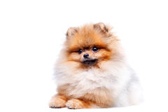 Zverg Spitz, Pomeranian Royalty Free Stock Photo