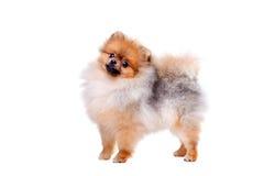 Zverg Spitz, Pomeranian Arkivfoto