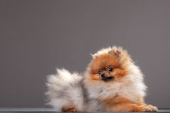 Zverg Spitz, Pomeranian Stock Photos