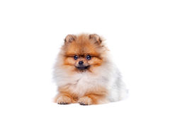 Zverg Spitz, Pomeranian Royalty Free Stock Photos