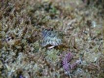 Zvonimir-` s Blennyfische Parablennius-zvonimiri bei Schwarzem Meer Stockfotos