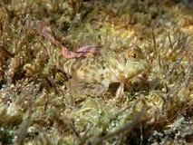 Zvonimir-` s Blennyfische Parablennius-zvonimiri bei Schwarzem Meer Weicher Fokus Stockbild