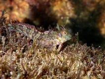 Zvonimir-` s Blennyfische Parablennius-zvonimiri bei Schwarzem Meer Weicher Fokus Stockfoto