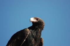 Zwängen-angebundener Adler Lizenzfreies Stockfoto