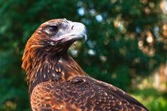 Zwängen-angebundener Adler Stockfoto