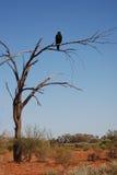 Zwängen-angebundener Adler auf einem trockenen Baum Lizenzfreies Stockfoto