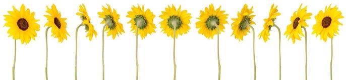 Zwölf Sonnenblumen Stockfotos