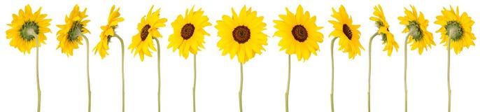 Zwölf Sonnenblumen Lizenzfreie Stockfotos
