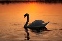 Zwaan bij zonsondergang Stock Afbeelding