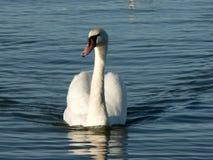 Zwaan in de lagune Stock Foto