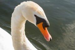 Zwaan in de rivier stock foto's