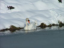 Zwaan in de winter Stock Foto's