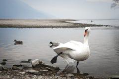 Zwaan die de flamingo spelen Royalty-vrije Stock Foto's