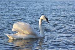 Zwaan die door de het toenemen zon zwemmen Royalty-vrije Stock Foto's
