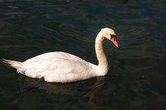 Zwaan die in Groen Water zwemmen Royalty-vrije Stock Foto's