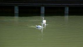 Zwaan die in het meer de Oekraïne zwemmen stock video