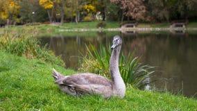 Zwaan die op het gras dichtbij de vijver liggen nave Royalty-vrije Stock Afbeelding