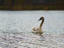 Zwaan die op het meer drijven Stock Foto