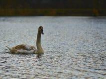 Zwaan die op het meer drijven Stock Afbeeldingen