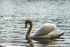 Zwaan die op het meer drijven Stock Foto's