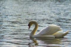 Zwaan die op het meer drijven Royalty-vrije Stock Fotografie
