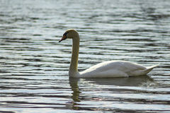 Zwaan die op het meer drijven Royalty-vrije Stock Afbeelding