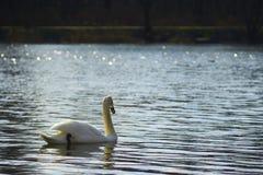 Zwaan die op het meer drijven Royalty-vrije Stock Afbeeldingen