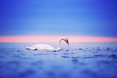 Zwaan die op het water bij zonsopgang van de dag drijven Stock Foto's