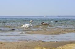 Zwaan die op het zandeiland dichtbij de kustlijn van de Oostzee loopt Royalty-vrije Stock Afbeeldingen