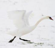 Zwaan die in sneeuw opstijgt Royalty-vrije Stock Afbeeldingen