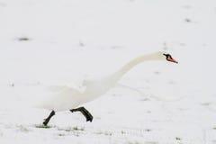Zwaan die in sneeuw opstijgt Stock Afbeelding