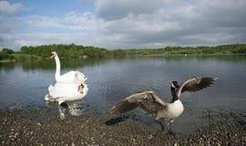Zwaan die Zijn Jonge zwanen beschermen Royalty-vrije Stock Afbeelding