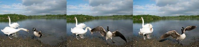 Zwaan die Zijn Jonge zwanen beschermen Royalty-vrije Stock Fotografie
