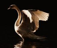 Zwaan die zijn vleugels uitspreidt Stock Foto